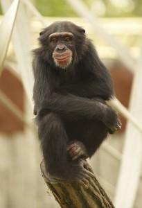 chimpances-205x300 Los chimpancés son expertos en prevención de incendios