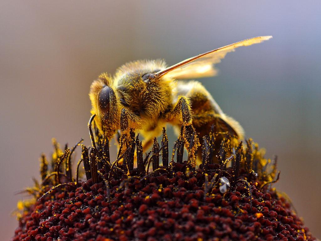 Bees_Collecting_Pollen_2004-08-14 Masa crítica e igualdad de género