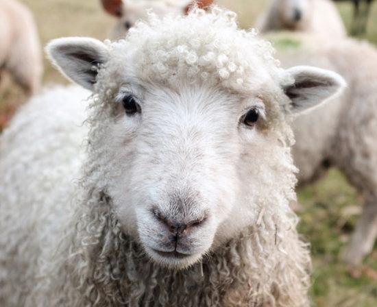 ventajas del uso de ovejas para el cuidado medioambiental